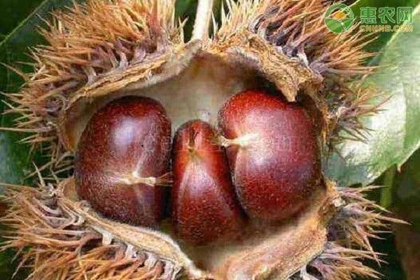 板栗哪個品種果實大?