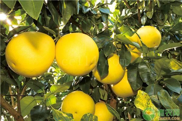 红心柚子几月份成熟上市?产地在哪?
