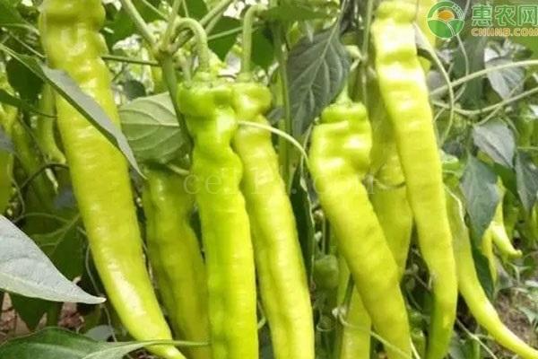 辣椒缓苗期要不要喷施叶面肥?