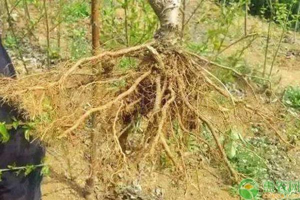 果樹爛根有什么癥狀?