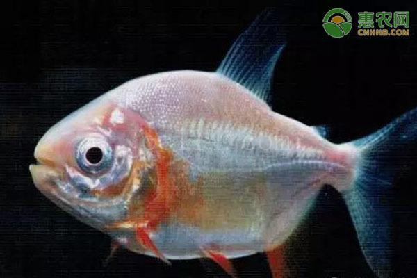 银板鱼哪种最好看?