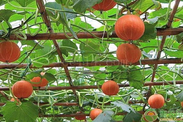 桔瓜苗长多少天可以采摘?