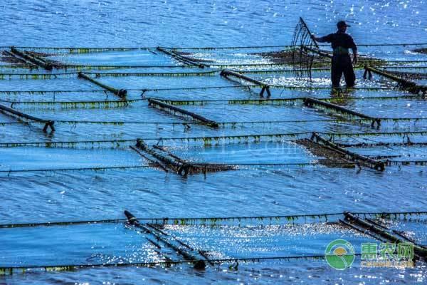 泉港紫菜哪里养殖规模大?