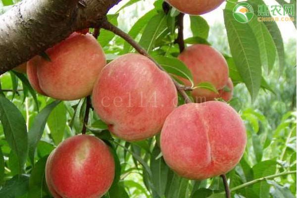 冬桃哪个品种最甜最好吃?