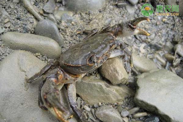 怎么才能养好螃蟹?
