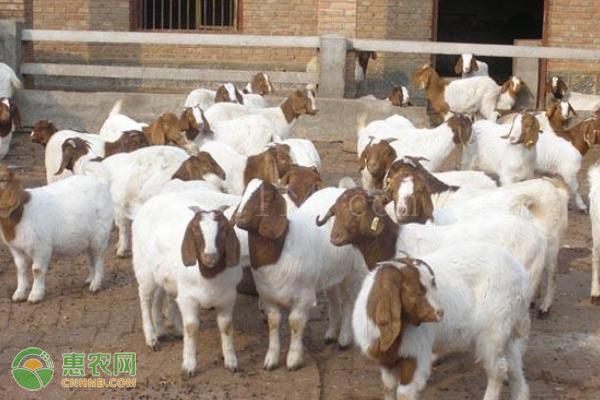 买羊看年龄口诀,怎么挑选出健康羊?