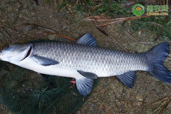 青魚跟草魚有什么區別?