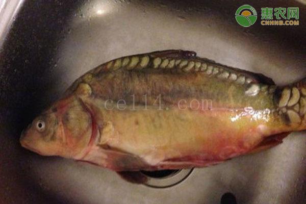 框鏡魚是什么魚種?