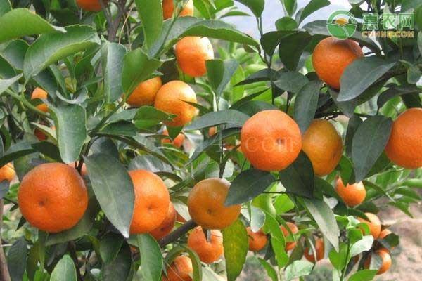 柑橘是如何使用微生物菌肥的?
