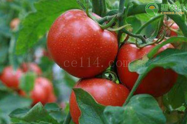 近期蔬菜涨价是什么原因?
