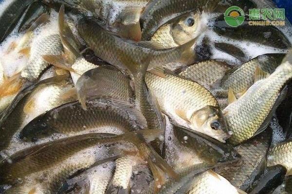 能长一斤多的鲫鱼是什么品种?