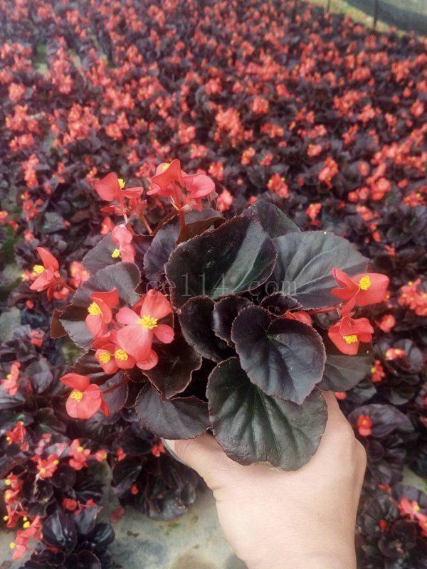 四季海棠紅葉紅花