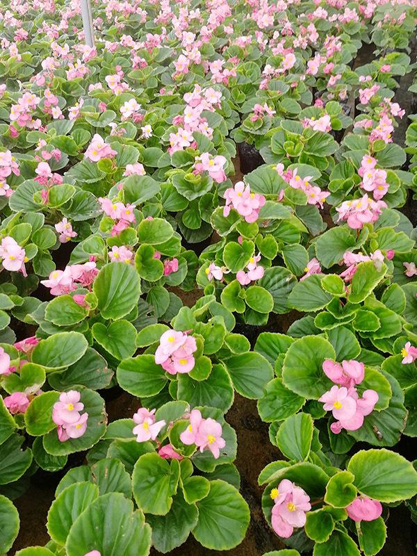 四季海棠綠葉粉花