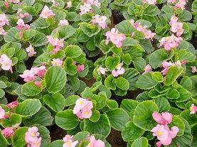 四季海棠绿叶粉花