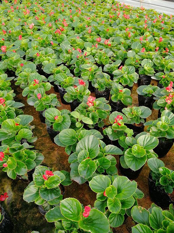 海棠绿叶红花