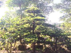 漳州岩柏树苗出售
