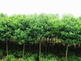 漳州盆景批发|福建绿化苗木
