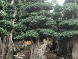 造型榕树桩头,福建造型榕树盆景