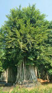 原生全冠气根景观小叶榕树
