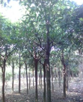 小叶榕移植苗