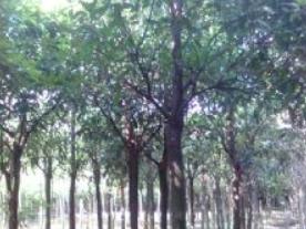 小叶榕移植苗,福建小叶榕移栽苗,福建小叶榕绿化树