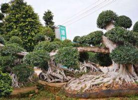 福建小叶榕造型桩头`盆景