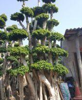 福建榕树盆景~ 小叶榕桩头