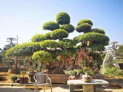 小叶榕造型盆景