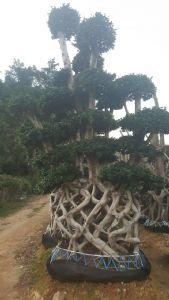 小叶榕网型树