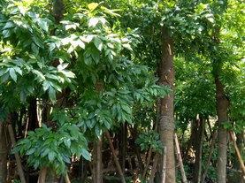 鄂西红豆树(花榈木)移植