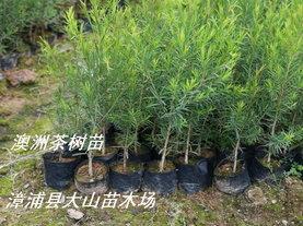 互叶白千层(澳洲茶树)