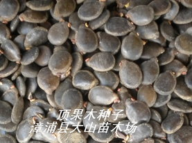 顶果木种子(速生造林品种)
