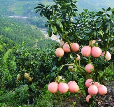 三红蜜柚嫁接枝条