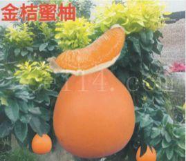 平和金桔蜜柚苗