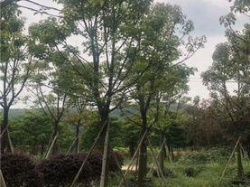 福建全冠香樟10公分20公分25公分 移栽香樟批发 精品香樟熟货树苗