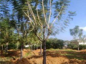 蓝花楹米径10-35公分 规格齐全 量大从优