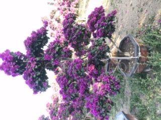 三角梅紫色造型