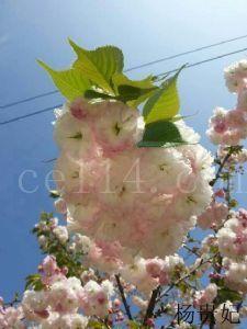 杨贵妃樱花