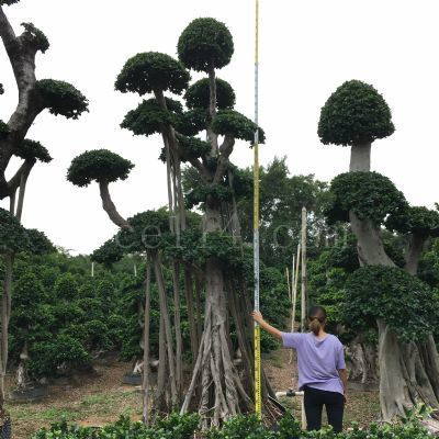 漳州4.5m吊根造型小叶榕