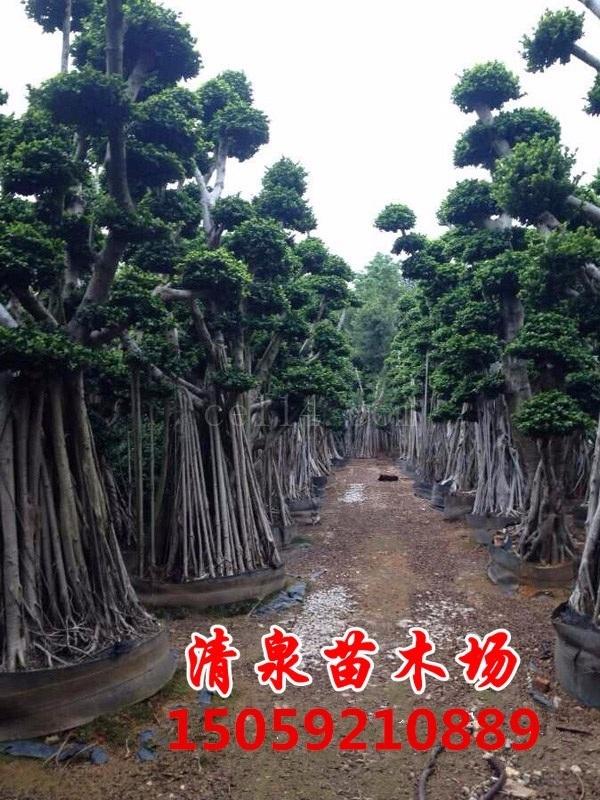 造型榕树基地