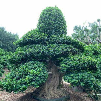 精品石码根嫁接造型小叶榕