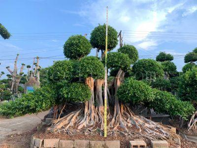 精品造型小叶榕桩景