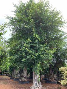 假植原枝榕树