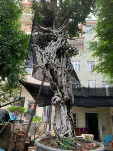 龙戏珠 榕树盆景