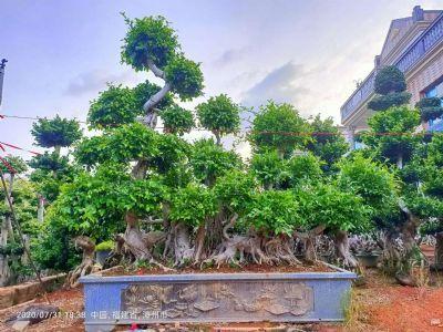原生叶片造型怪根榕树盆景