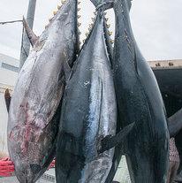 金枪鱼类tunas