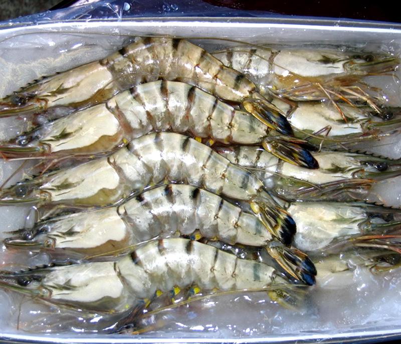 进口大虎虾