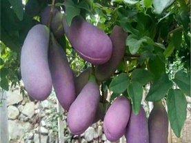 八月瓜水果苗木种子