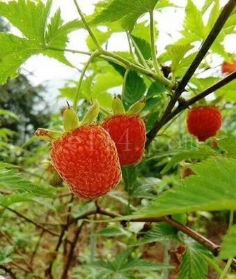 掌叶树莓覆盆子树苗