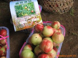 明艳油桃果肉白色,味极甜、香气浓郁成熟期无裂果现象